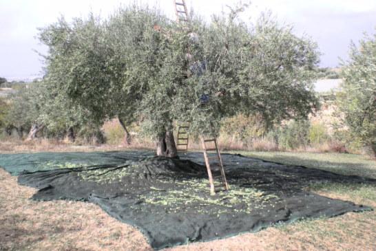 Sorpresi a rubare 50chili di olive, arrestata una intera famiglia