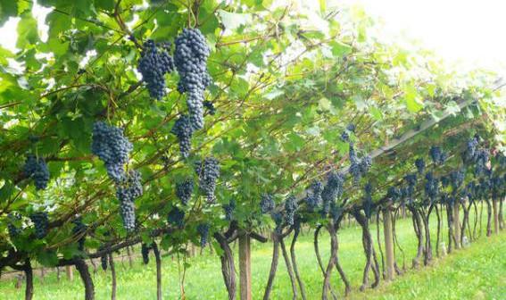 Pale eoliche tra i vigneti la regione chiede la via for Irrigazione vigneto