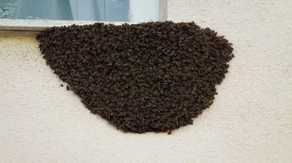 Pericoloso nido di vespe sotto una finestra paura alla commenda video brindisi oggi news - Nido api finestra ...